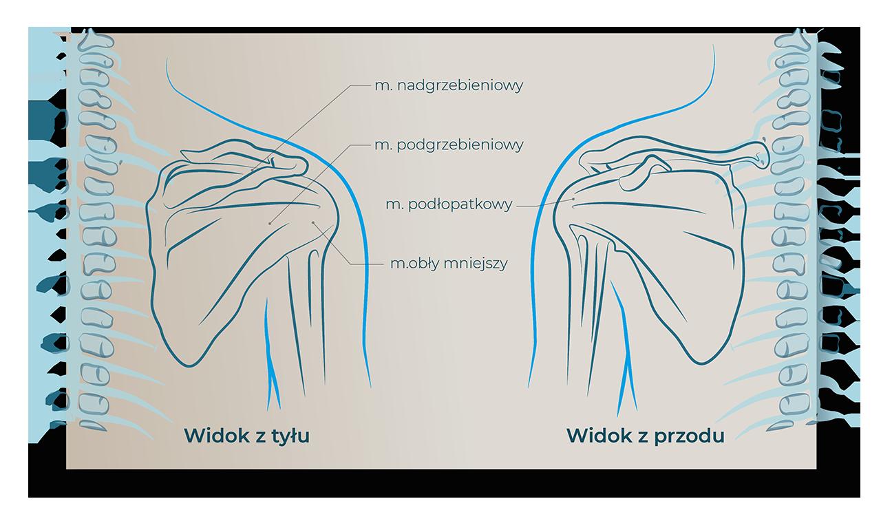budowa stozka rotatorow nadgrzebieniowy podgrzebieniowy obly mniejszy podlopatkowy wi