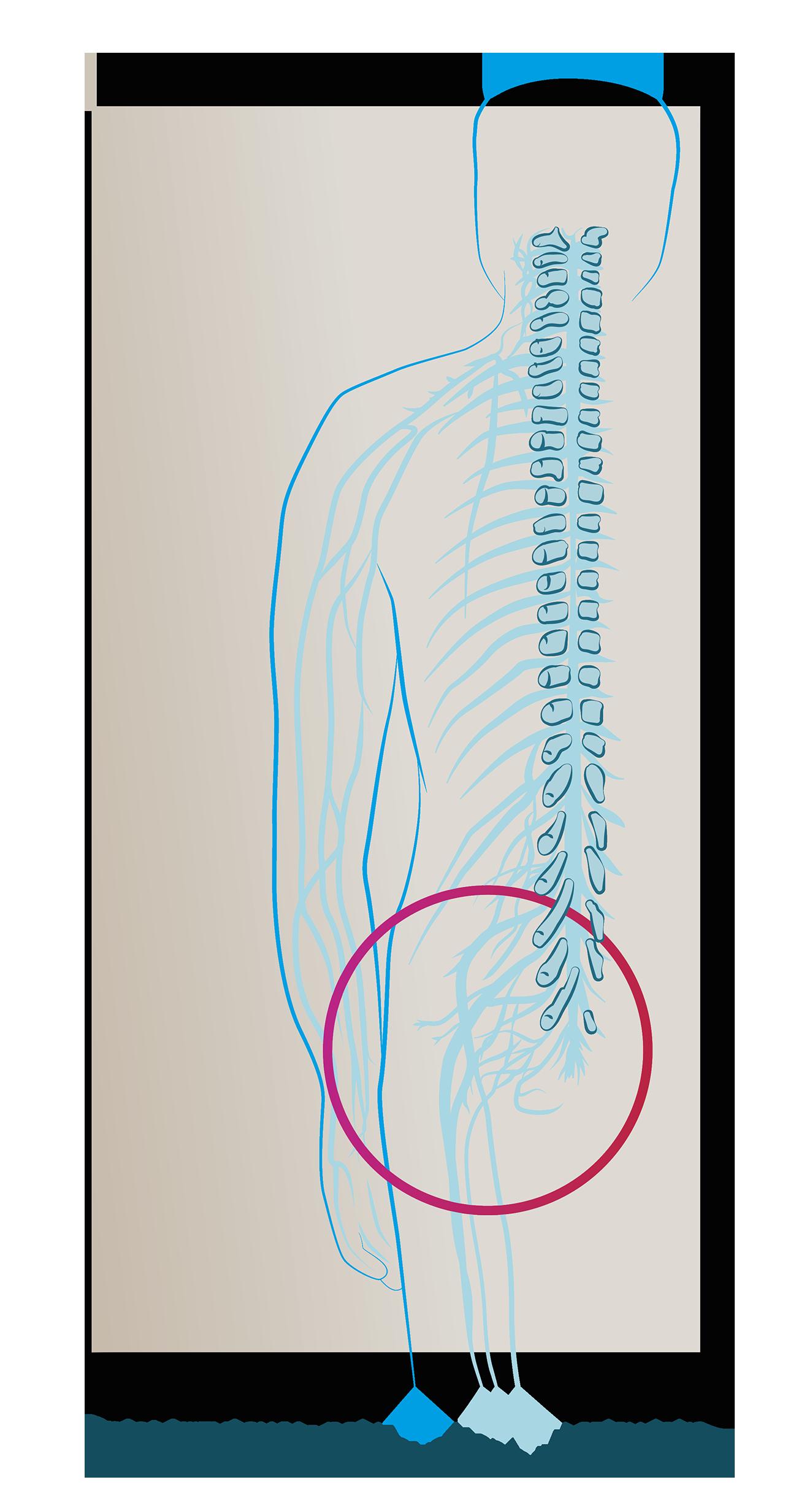 splot krzyżowy nerw kulszowy anatomia