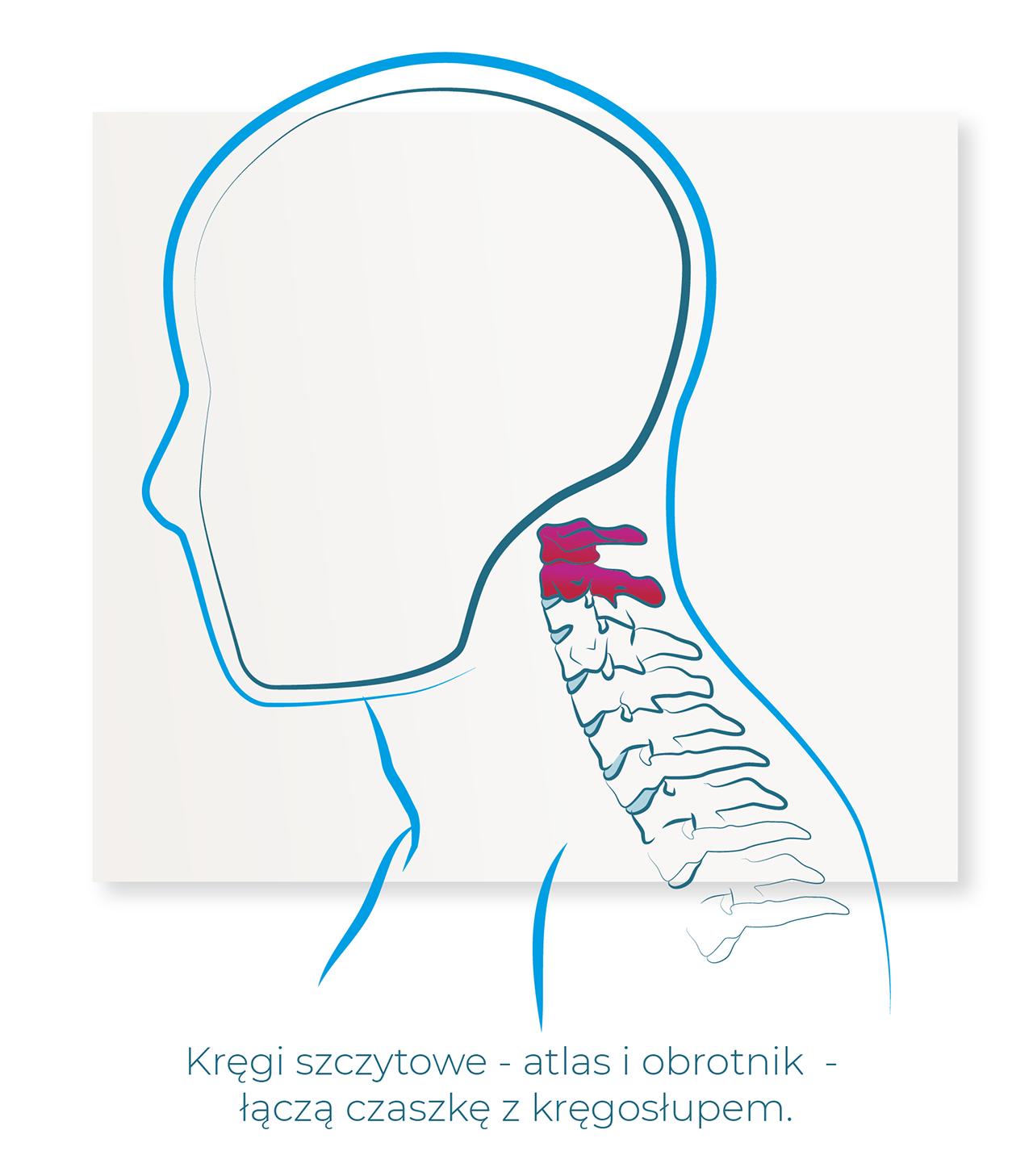 kregi szczytowe atlas i obrotnik lacza czaszke z kregoslupem