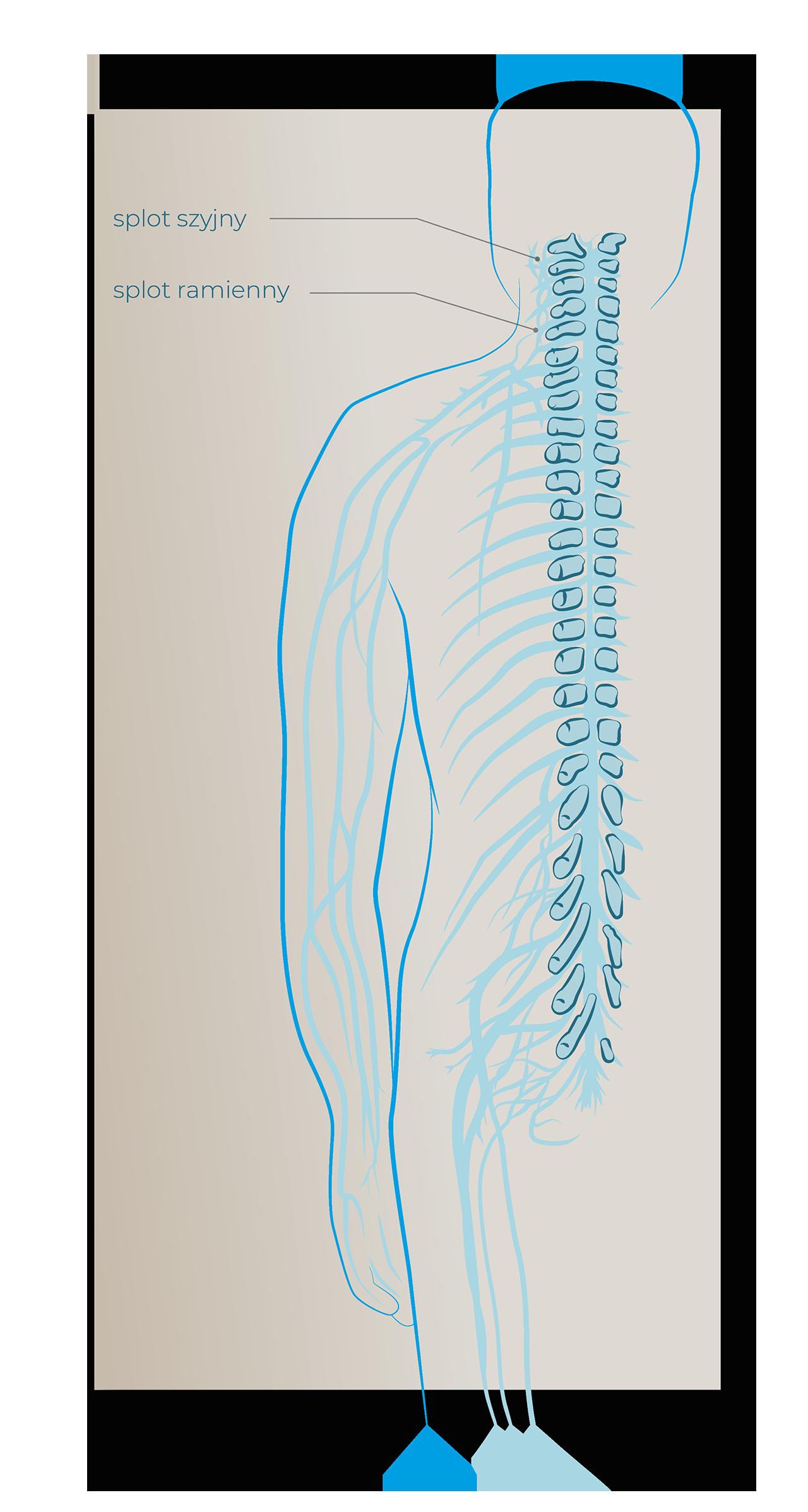 splot szyjny splot ramienny